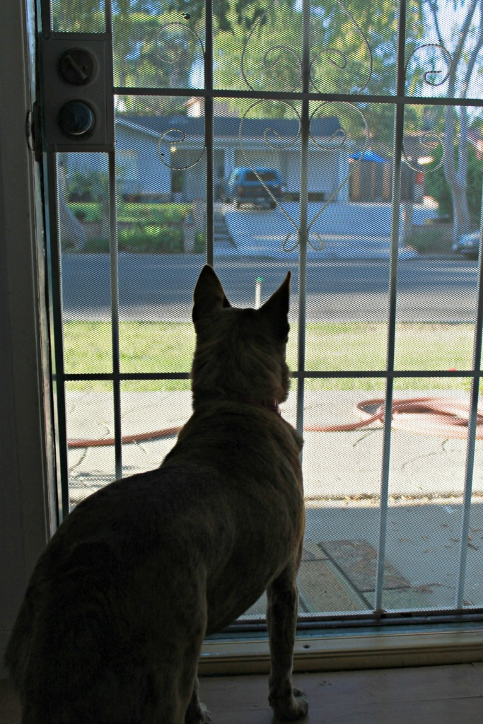 Photo: Alert dog looks out on neighborhood as if it's a danger zone.