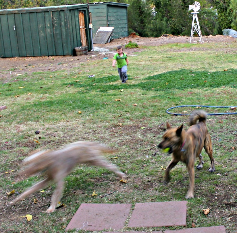 Toddler running after dogs