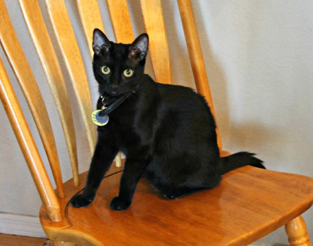 Young black cat on chair