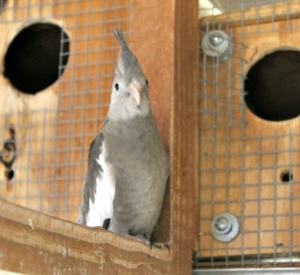 Gray and white cockatiel