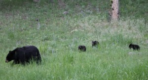 mama black bear and three cubs