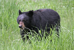 Adult black bear eating grass