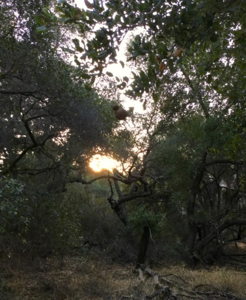 sunset thru oak