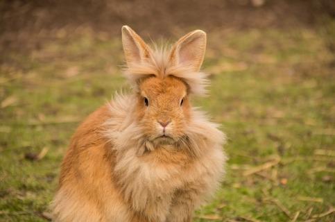 HutchRock on pixabay, fluffy bunny, lion bunny
